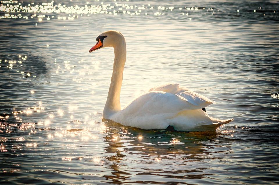 swan-2077219_960_720